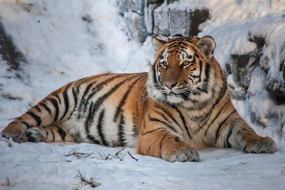 №1 тигр